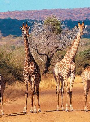 http://www.holidayguru.nl/wp-content/uploads/2014/10/zuid-afrika-giraffes.jpg