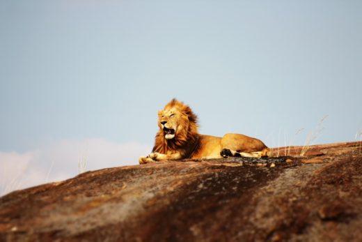 tanzania leeuw